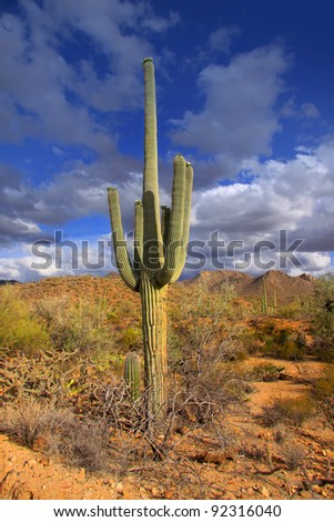 Tall cactus plant in Sonoran desert in Arizona #92316040