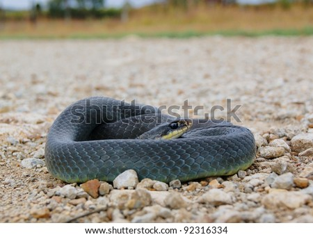 A nonvenomous constrictor coiled at the edge of a road - Eastern Yellow-bellied Racer, Coluber constrictor flaviventris #92316334