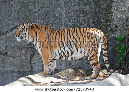 Siberian Tiger in a zoo #92373940