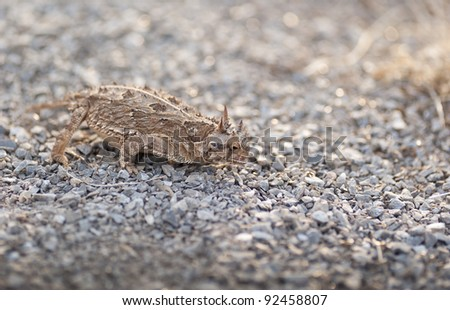 West Texas Horned Frog stalks Ants #92458807