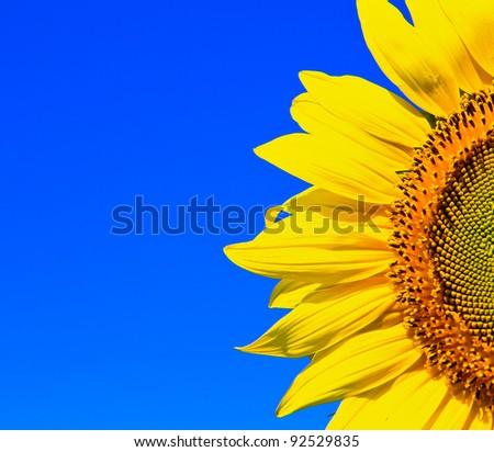 Sunflower  in thailand #92529835
