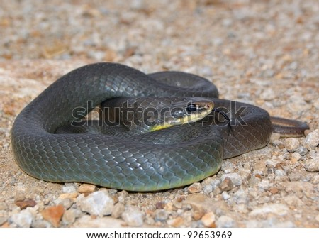 A mean looking snake similar to a black mamba - Eastern Yellow-bellied Racer, Coluber constrictor flaviventris #92653969