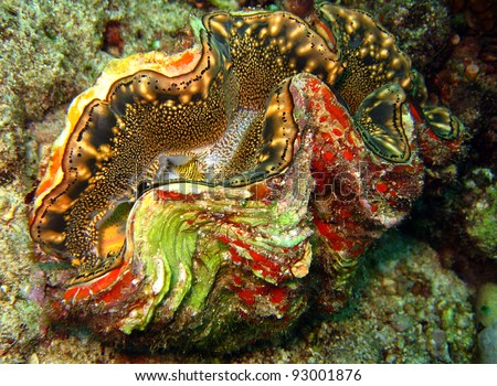 Scaly Giant Clam/Squamose Giant Clam, Kakaban, Indonesia