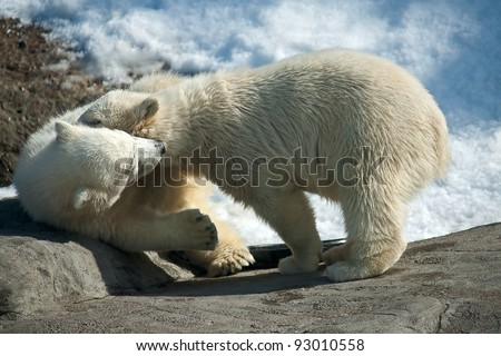 Two polar bear white in  game at  zoo, Russia.