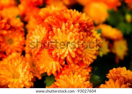 Orange pot marigold #93027604