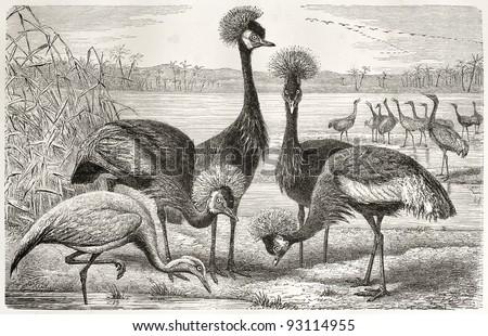 Black Crowned Crane (Balearica pavonina) and Demoiselle Crane (Anthropoides virgo) old illustration. By unidentified author, published on Merveilles de la Nature, Bailliere et fils, Paris, ca. 1878