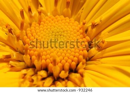 Sunflower #932246