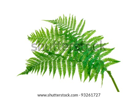 Three green leaves of fern isolated on white #93261727