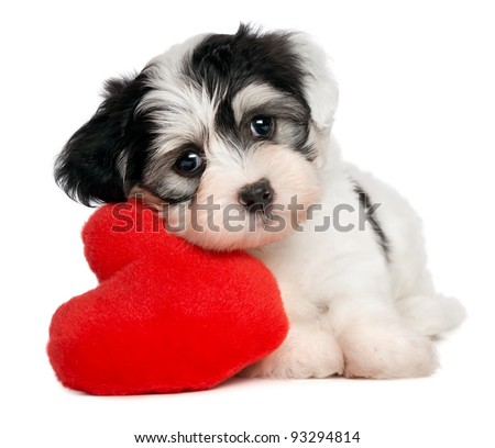 A cute lover valentine havanese puppy dog with a red heart isolated on white background #93294814