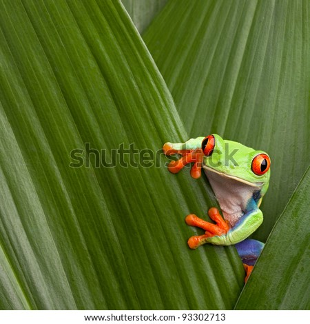 red eyed tree frog hiding in green background leafs Agalychnis callydrias exotic amphibian macro treefrog  Costa Rica curious tropical rain forest animal copyspace Panama or terrarium #93302713