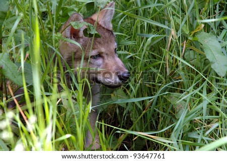 European grey wolf (Canis lupus) baby in the grass