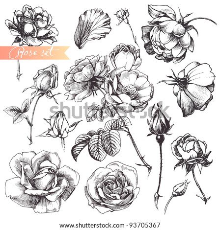Flower set: highly detailed hand drawn roses.