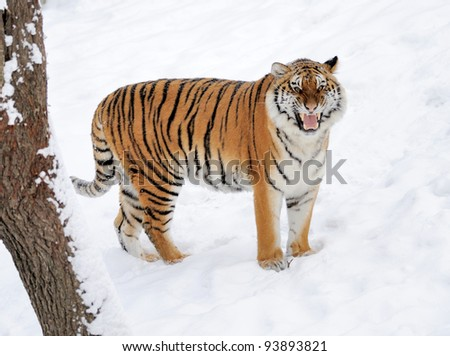 Beautiful wild siberian tiger on snow #93893821