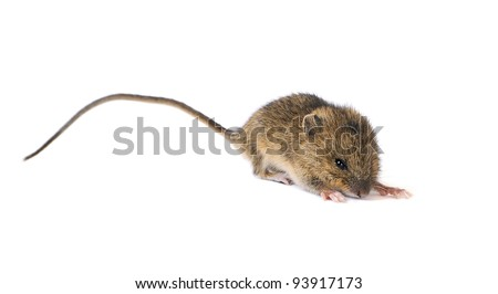 Little mouse ready to jump isolated on white background #93917173