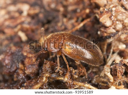 Small beetle on wood, extreme close-up with high magnification, focus on eye #93951589