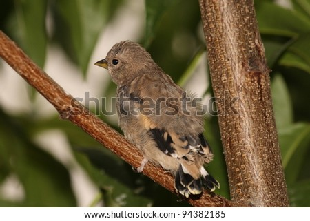Young goldfinch. Carduelis Carduelis. #94382185