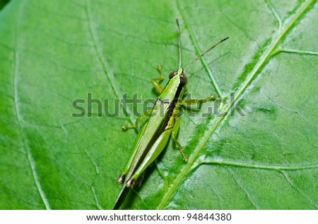 grasshopper in green nature or in the garden #94844380