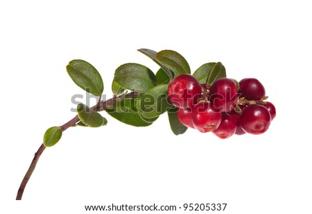 branch of red cow-berries isolated on white background #95205337