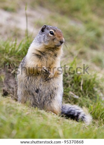Ground squirrel found near Two Jack Lake in Banff National Park. #95370868