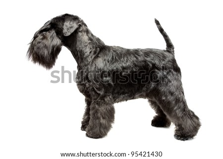 Miniature Schnauzer black isolatad over white background #95421430
