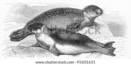 Vintage drawing of the Harbor seal and Harp seal (Pagophilus groenlandicus) - Picture from Meyers Lexicon books collection (written in German language ) published in 1909 , Germany.