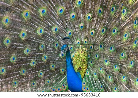 Peacock displaying his colorful feathered tail #95633410