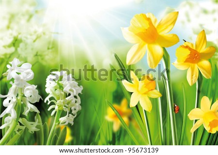 Cheerful Spring Bulbs. Background of flowering white narcissus and yellow daffodils under spring sunshine