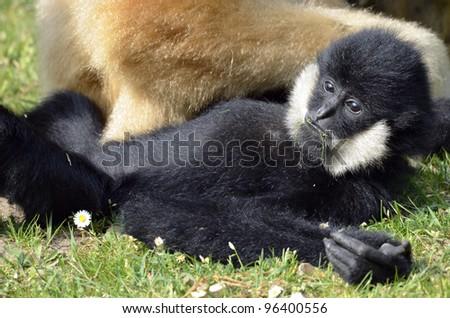 Closeup of white-handed gibbon (Hylobates lar), lying on grass #96400556