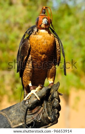 Portrait of a hooded falcon sits still on its trainer hand as it poses for pictures. This picture was snapped during a falconry show held not far from Dubai, United Arab Emirates.