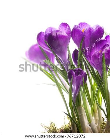 Beautiful snowdrop crocus Spring Flowers #96712072