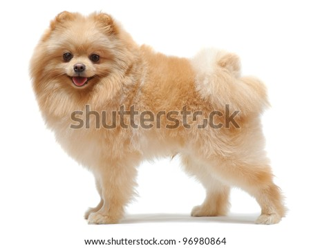 Portrait of standing pomeranian spitz isolated on white #96980864