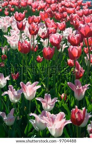 Tulips #9704488