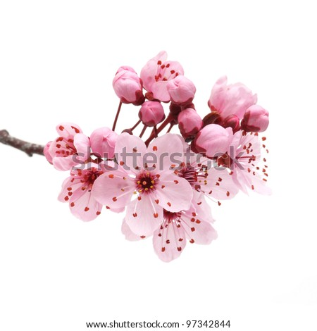 Cherry blossom, sakura flowers isolated on white background #97342844
