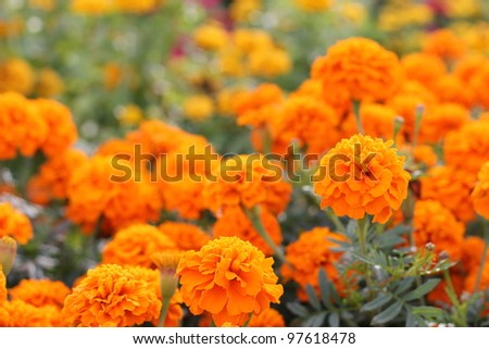 Yellow and orange marigold #97618478
