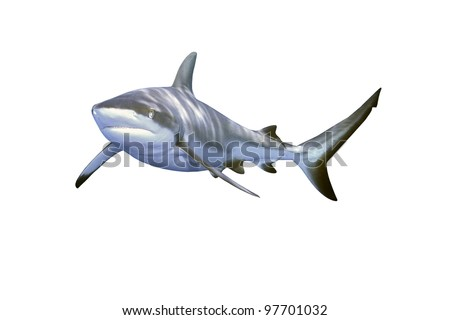 a large grey reef shark, Carcharhinus amblyrhynchos, showing the mouth and teeth and isolated on white background