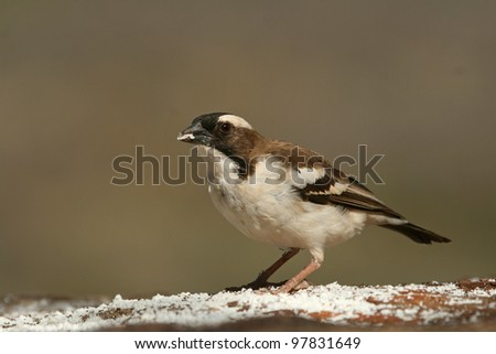 White-browed sparrow-weaver (Plocepasser mahali), Mpala Research Center, Laikipia, Kenya #97831649