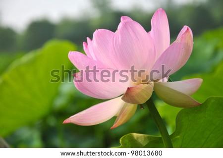 Blossom pink lotus flower #98013680