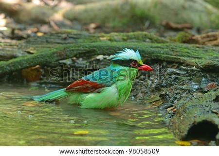Common Green Magpie #98058509