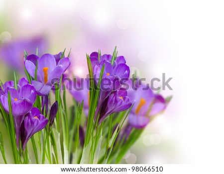 Crocus Spring Flowers art design #98066510