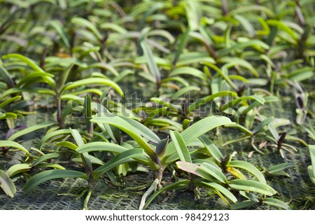 Cultivation of orchids. #98429123