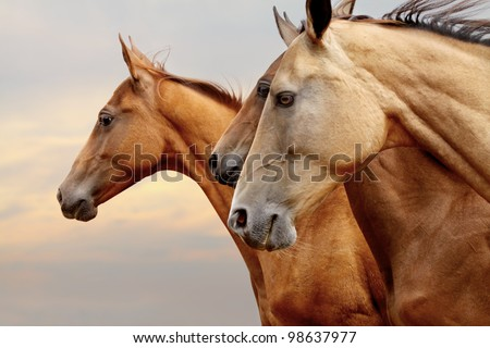 purebred horses closeup in sunset. small depth of field #98637977