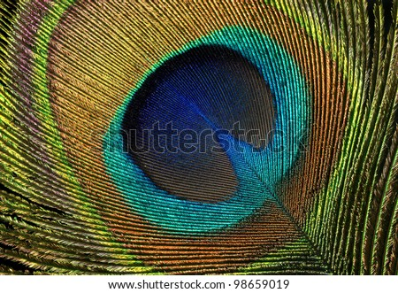 Beautiful exotic peacock feather on white background with copy space.