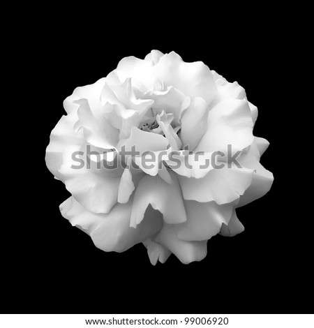 black and white flower rose. A close up isolated on a black background #99006920