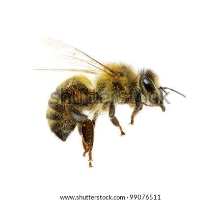 bee isolated on the white #99076511