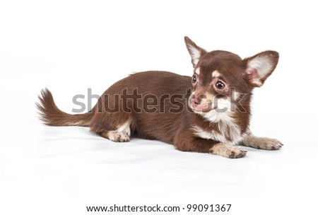 Funny puppy Chihuahua poses on a white background #99091367