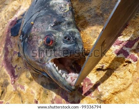 Black Piranha (Serrasalmus rhombeus) Amazonas - Brazil