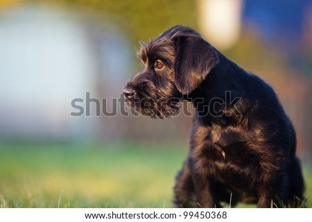 cute standard schnauzer puppy sitting in the garden and looking away #99450368