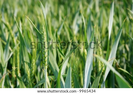 Closeup of a fresh wheat plant #9965434