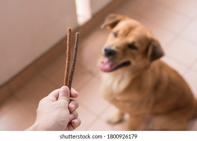 An image of adorable brown dog is waiting for eat chew snacks stick from owner hand.selective focus on chew stick.