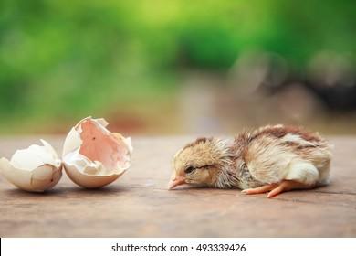 chick hatching images stock photos vectors shutterstock